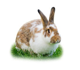 Rabbit isolated