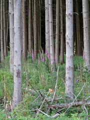Nadelwald mit Fingerhut