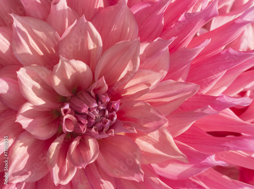 Fotobehang Dahlia Colorful Pink Dahlia Flower