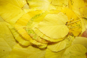 layers of yellow autumnal leafs