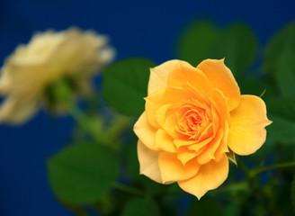 Beautiful flowers delicate rose.
