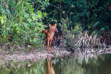 Asian Wild Dog come to check the enemies in nature