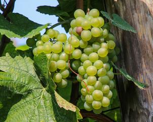 Weintraubenlese