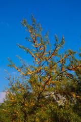 Wunderschöner reifer BIO Sanddorn im Herbst 32