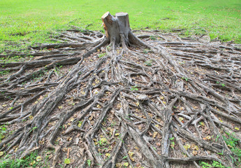 cutting died of banyan tree stump with root in green field