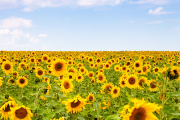 yellow sunflowers over blue sky