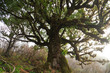 Old laurel tree in Madeira, Portugal