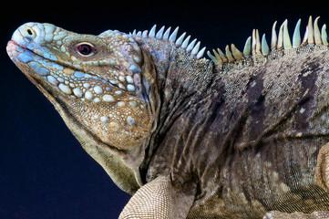 Blue rock iguana / Cyclura lewisi