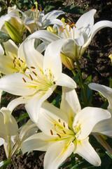 Beautiful flowers lily.