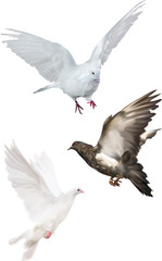 three pigeons isolated on white illustration