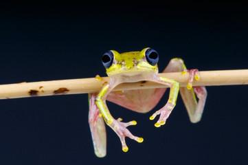 Lime reed frog / Hyperolius fusciventris