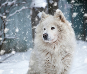 fluffy white dog under the falling snow in winter