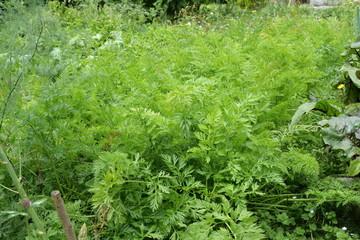 plant de carotte