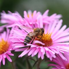 ape su fiore viola_ giardino