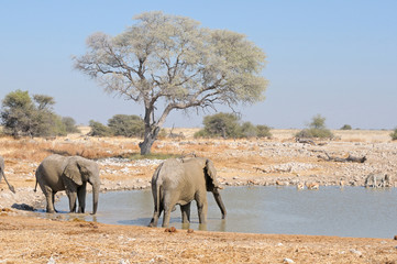 Elephants at Okaukeujo waterhole