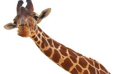 Giraffe closeup portrait isolated on white background