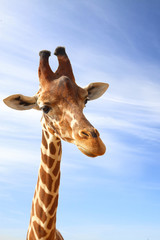 Giraffe closeup portrait with blue sky as background