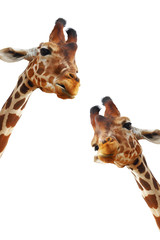 Couple of giraffes closeup portrait isolated on white background