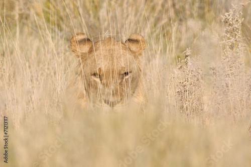 Fotobehang Leeuw Lion hiding in the grass
