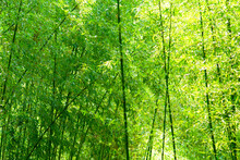 Phyllostachys bambusoides, Poaceae, comestible, Japon