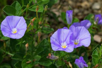 Convolvulus sabatius, Blue compactor, Convolvulaceae