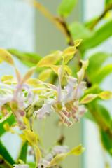 Dendrobium bicaudatum, Indonesia, Sulawesi, Moluccas