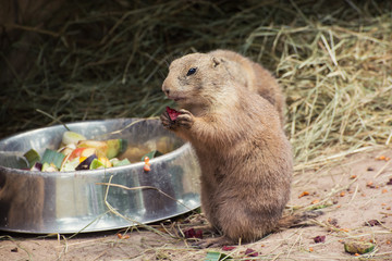 Black-tailed prairie dog eat fruit