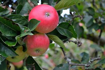 natuerliches Obst am Baum - Nahaufnahme
