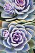 Succulent plant - 71218138