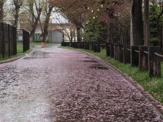 桜の花びらの道