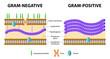 Gram-positive and Gram-negative bacteria - 71218948