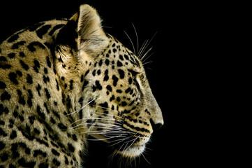 Leopardo iraniano - Panthera pardus saxicolor