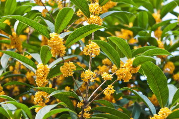 The golden osmanthus flowers in full bloom in the fall