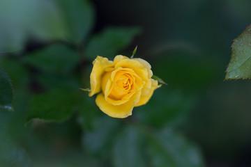 """咲きかけのバラ""""フリージア"""""""