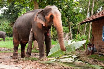 Orphelinat d'éléphant à Kandy au Sri-lanka