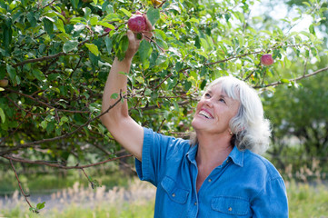 Attractive Senior Woman Picking Apples