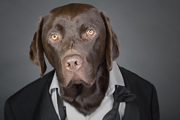 Cool Chocolate Labrador in Tuxedo against a Grey Background