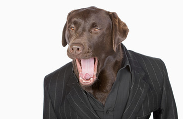Isolated Shot of a Smart Chocolate Labrador in Pinstripe Jacket
