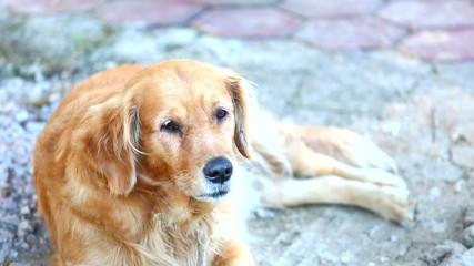 dog lying on ground , golden retriever