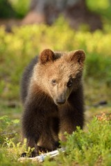 Brown bear cub portrait in forest
