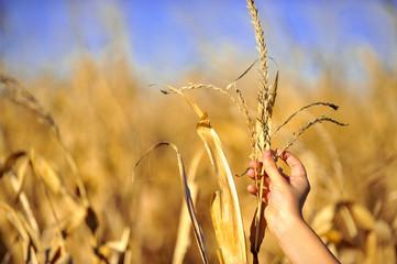 Cornfield harvest check in autumn