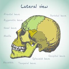 Anatomy human head illustration