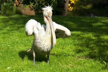 Wild pelican in the nature