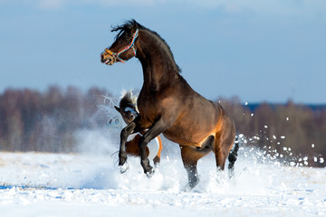 Two horses playing and runing in the snow