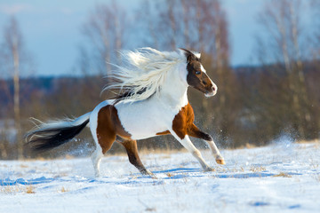 Beautiful horse gallops in the snow in winter