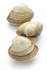 hard clam, quahog isolated on white background
