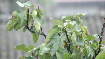 heavy rain poured over fig tree leaves