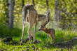 White-Tailed Deer (Odocoileus virginianus) Licks Her Fawn - 71229129