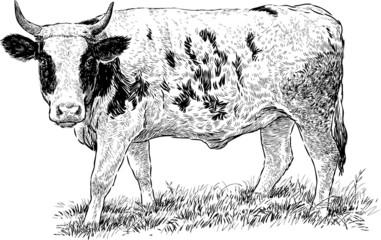 grazed cow