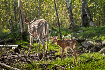 White-Tailed Deer Fawn (Odocoileus virginianus) Follows Mother